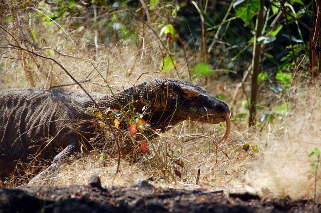 Rinca Island and Komodo Dragons: Satan's Island Retreat
