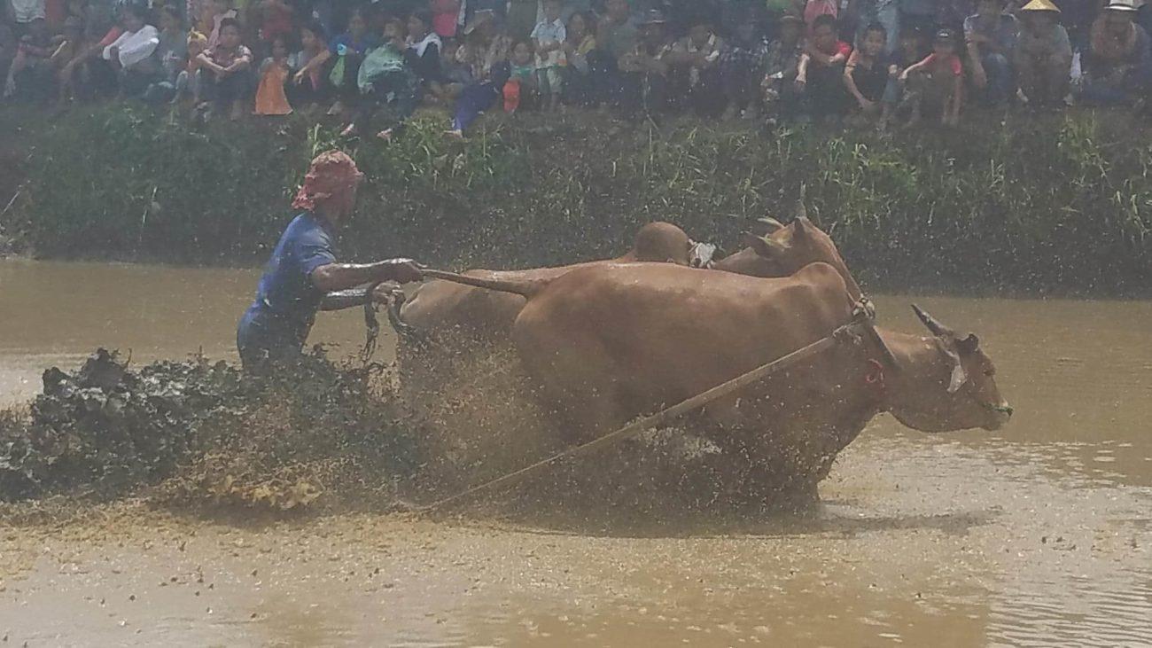 Cow Racing in Sumatra (Pacu Jawi)
