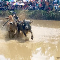 Pacu jawi cow racing Sumatra