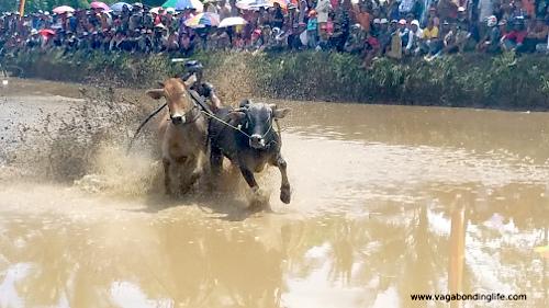 Pacu jawi cow racing in Sumatra