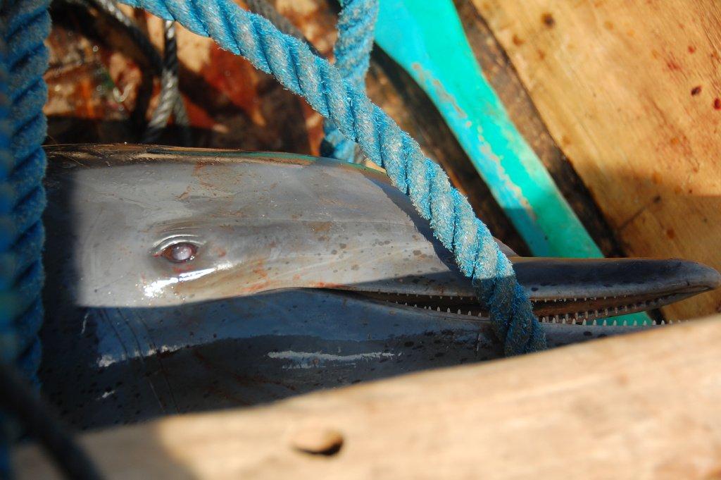 A doplhin caught in Lamalera, Indonesia