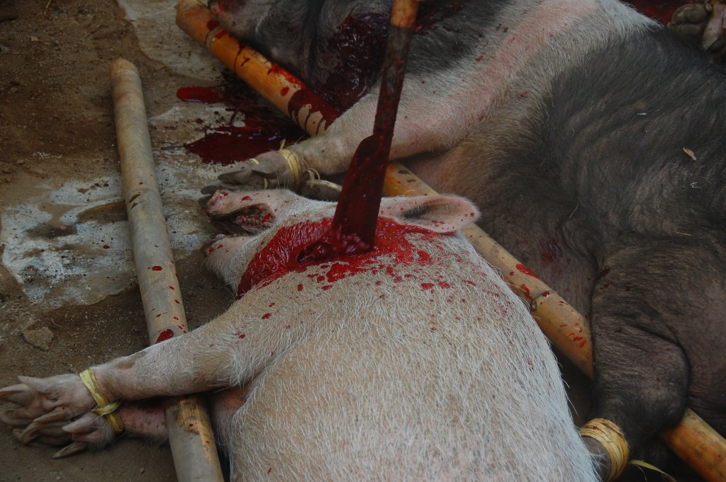 A pig being slaughtered in Indonesia